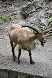 Portrait of a wild goat Royalty Free Stock Image