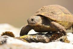 Portrait of wild greek turtoise. On natural habitat standing on a rock  Testudo graeca Stock Photography
