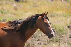 Portrait of a wild horse Royalty Free Stock Photos