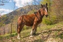 Portrait of wild horse in the Catria mountain, Marche, Italy Royalty Free Stock Images