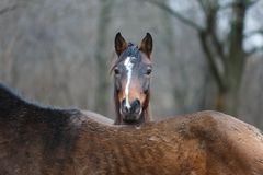 Portrait of wild horse Royalty Free Stock Images