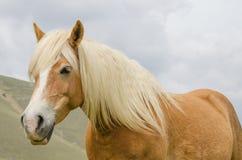 Portrait of wild horse Royalty Free Stock Photo