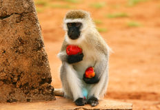 Portrait of wild hungry monkey Royalty Free Stock Image