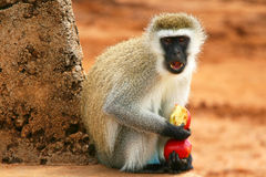 Portrait of wild hungry monkey Stock Photography