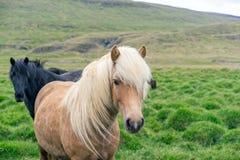 Portrait of wild icelandic pony. Royalty Free Stock Photos
