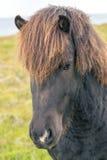 Portrait of wild icelandic pony Stock Photos