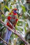 Wild Juvenile Crimson Rosella, Mount Macedon, Victoria, Australia, September 2017. Portrait of a Wild Juvenile Crimson Rosella sitting in a tree, Mount Macedon royalty free stock photo