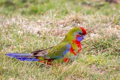 Wild Juvenile Crimson Rosella, Mount Macedon, Victoria, Australia, September 2017. Portrait of a Wild Juvenile Crimson Rosella sitting in a tree, Mount Macedon royalty free stock photography