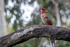 Wild Juvenile Crimson Rosella, Mount Macedon, Victoria, Australia, September 2017. Portrait of a Wild Juvenile Crimson Rosella sitting in a tree, Mount Macedon royalty free stock image
