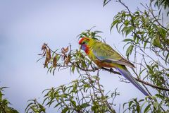 Wild Juvenile Crimson Rosella, Mount Macedon, Victoria, Australia, September 2017. Portrait of a Wild Juvenile Crimson Rosella sitting in a tree, Mount Macedon royalty free stock images