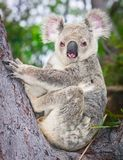 Portrait of a wild  Koala sitting in a tree Royalty Free Stock Image