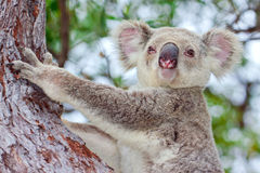Portrait of a wild koala sitting in a tree Stock Photos