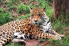 Portrait of the wild Leopard stock photos