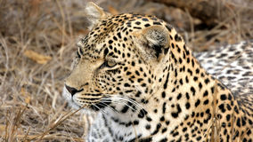 Portrait of a wild Leopard Sabi Sands Royalty Free Stock Images