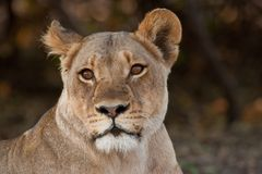 Portrait of a wild lion in southern Africa. Royalty Free Stock Photos