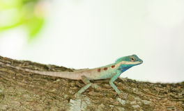 The portrait of wild lizard. (BLUE-CRESTED LIZARD) on the tree Stock Photos
