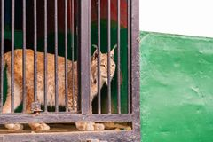 Portrait of a wild lynx in the profile of the lattice fence stock photos