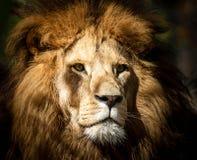 Portrait of a wild majestic male lion. Portrait of a wild, dangerous male lion royalty free stock photo