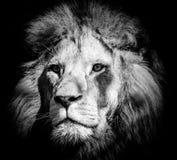 Portrait of a wild majestic male lion. Portrait of a wild, dangerous male lion royalty free stock photos