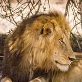 Portrait of a wild male lion having a nap in savannah,  in Kruger park Stock Photos