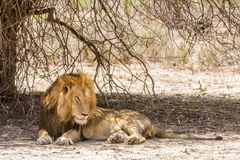Portrait of a wild male lion having a nap in savannah,  in Kruger park Stock Photo