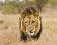 Portrait of wild male lion walking in the bush, Kruger, South Africa Stock Images
