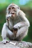 Portrait of wild monkey Royalty Free Stock Image