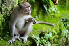 Portrait of wild monkey Royalty Free Stock Photo