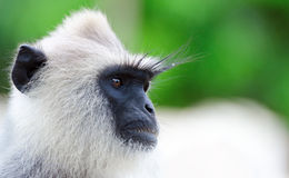 Portrait of wild monkey. Portraint of very serious wild monkey. Selective focus on eyes Royalty Free Stock Photography