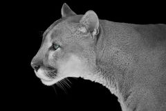 Portrait of mountain Puma in black and white with blue eyes stock photography