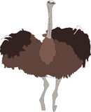 Portrait of a wild ostrich big flightless bird. Colored hand drawn vector Illustration isolated on white background Royalty Free Stock Photos