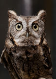Portrait of wild owl Stock Photography
