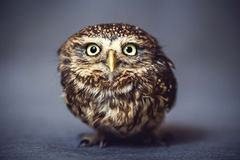 Portrait of a wild owl on the background. Portrait of a young wild owl-a representative of wildlife and a predator on the background Stock Images