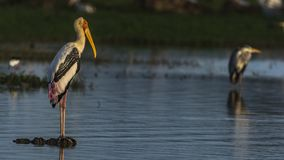 Portrait of Wild Painted Stork stock photo