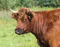 Portrait of a wild red cow with burdocks royalty free stock images