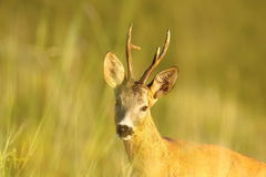 Portrait of wild roe deer buck Royalty Free Stock Photo
