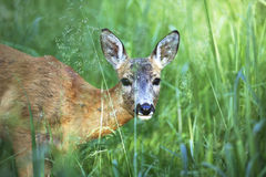 Portrait of wild roe deer in the grass Royalty Free Stock Images
