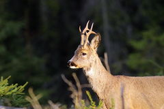Portrait of wild roebuck Royalty Free Stock Photography