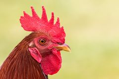 Wild Rooster Chicken. A portrait of a wild rooster chicken on Maui Stock Photos