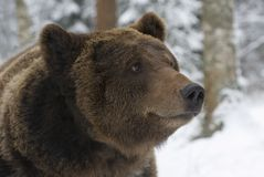 Portrait of wild russian bear. A portrait of a brown bear close-up Stock Images