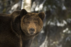 Portrait of wild russian bear. Royalty Free Stock Photos