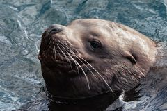 Portrait of wild sea mammal animal Northern Sea Lion swims in cold waves Pacific Ocean stock images