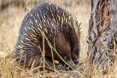 Portrait of a Wild Short-beaked Echidna Foraging, Hanging Rock, Victoria, Australia, March 2019 royalty free stock photo