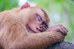 Portrait of wild sleeping monkey in forest. Close up view. stock photography