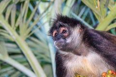 Portrait of a wild spider monkey male sitting on a betel palm tree. Portrait of a wild spider monkey male sitting on a betel palm tree Stock Images