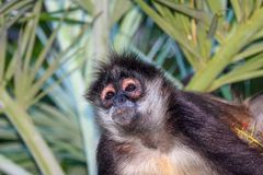 Portrait of a wild spider monkey male sitting on a betel palm tree. Portrait of a wild spider monkey male sitting on a betel palm tree Royalty Free Stock Photography