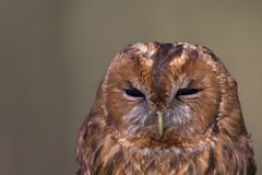 A portrait of a wild Tawny owl Strix aluca caught to be banded and ringend in Germany. A portrait of a wild Tawny owl Strix aluca caught to be banded and royalty free stock image