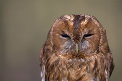 A portrait of a wild Tawny owl Strix aluca caught to be banded and ringend in Germany. A portrait of a wild Tawny owl Strix aluca caught to be banded and stock photography