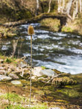Portrait of wild teasel. A dried wild teasel stands beside a mountain river Stock Photography