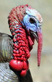 Portrait of wild turkey Stock Photo